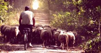 Shepherd on bike with his sheeps in forest. Vintage style